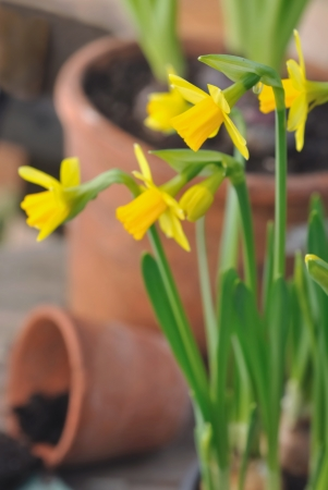 terra cotta: close on daffodils in front of terra cotta pots  Stock Photo