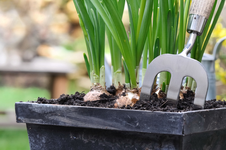 close up on a small metal fork planted in a flower pot with bulbs Stock Photo