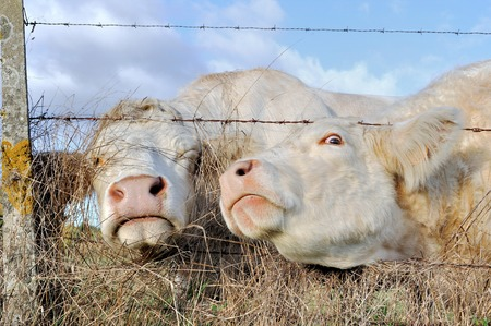 cattle wire: two cows passing their head through a barbed Stock Photo