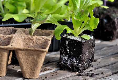 biodegradable: lettuce plants and biodegradable pots on wooden board