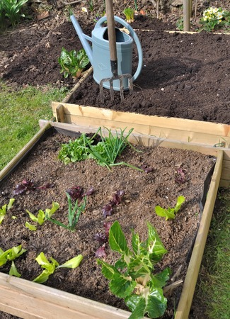 planting lettuce  in a square vegetable garden  photo