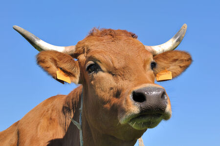 closeup cow face: portrait of a cute brown cow against blue sky Stock Photo