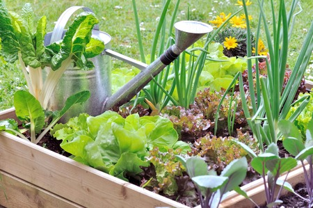 watering can in a garden square among salads
