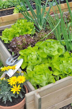 green salad with garden tools in patch
