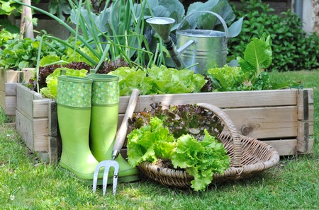 Kopfsalat in einem Korb in der Nähe von einem Gemüsebeet gesetzt Standard-Bild - 28469643