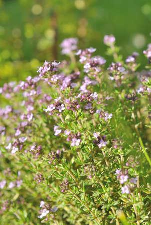 thyme in flower in a garden photo