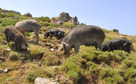 sow: a sow and her cubs t in the Corsican mountains Stock Photo