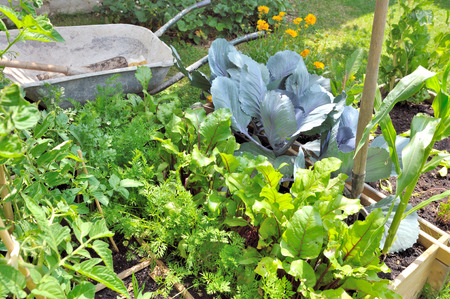 cabbage patch: foliage vegetables in garden with  wheelbarrow and gardening tools