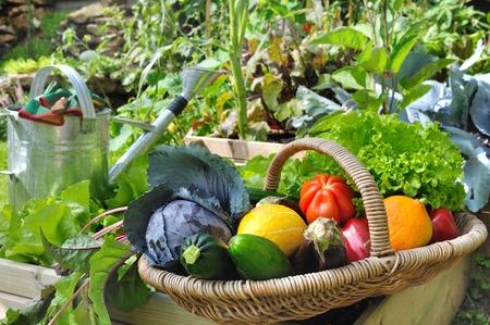 watering garden: basket of fresh vegetables in a placed vegetable garden