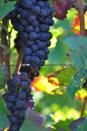 blushing: closeup on bunches of black grapes in vineyards foliage blushing Stock Photo