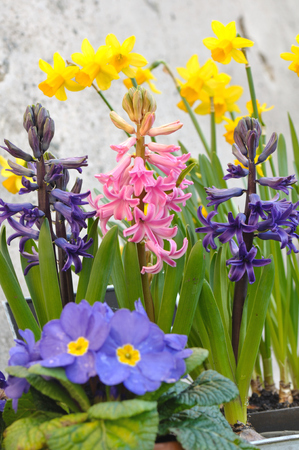 primroses: blooming spring flowers, hyacinths, daffodils and primroses Stock Photo