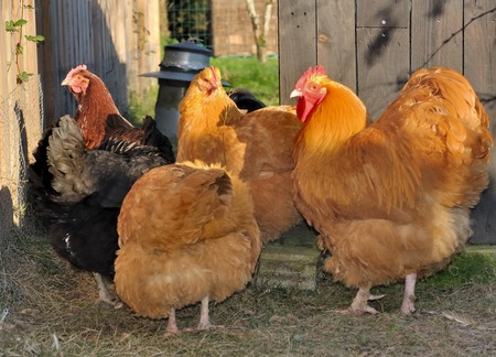 henhouse: beautiful orpington hens and rooster in henhouse