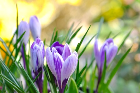 pretty crocus on colorful background