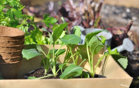 cabbage patch: vegetable seedlings in a tray placed in a vegetable patch