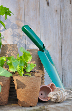 biodegradable: lettuce seedlings in biodegradable pot  and gardening  tools on wooden background