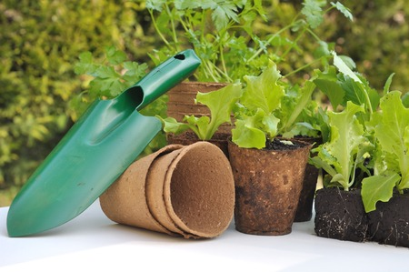 biodegradable: seedling lettuce in biodegradable pots with gardening tool