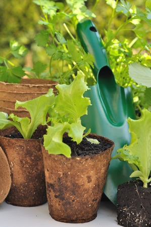 biodegradable: some seedling lettuce in biodegradable pots with gardening  tool