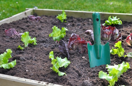 few lettuce plant with gardening tool in soil of a patch