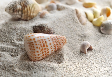 pearly: pearly seashell in the sand