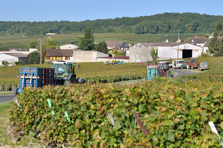 growers: tractors carrying crates of grapes harvested during the harvest Stock Photo