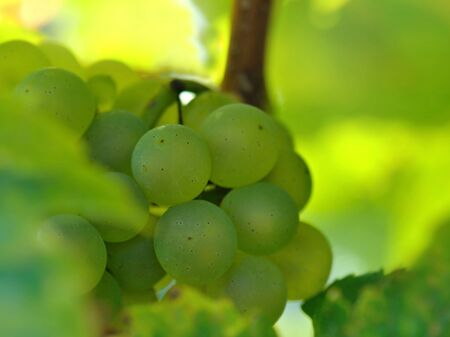 uva blanca: closeup on a bunch of white grape in vineyard