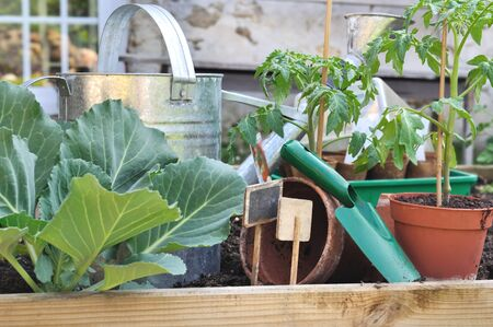 cabbage patch: cabbage and potted tomato in a patch with tool and watering can Stock Photo