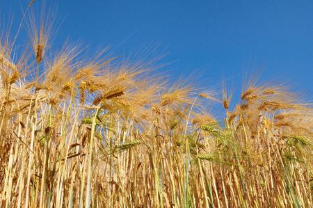 gramineous: field of golden barley strand under blue sky Stock Photo