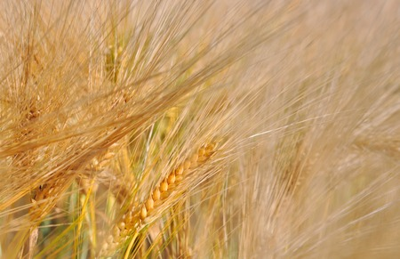gramineous: ear of barley bearded in golden background Stock Photo