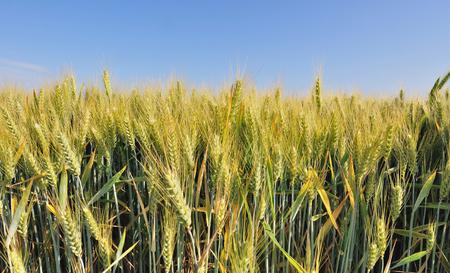 gramineous: field of barley bearded under blue sky