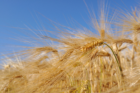 gramineous: close on field of golden barley strand under blue sky