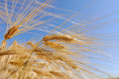 gramineous: close on  golden barley strand under blue sky