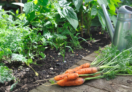 vegetable garden: vegetable garden with watering can and carrots