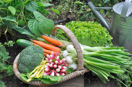 garden vegetable in a wicker basket in a vegetable garden