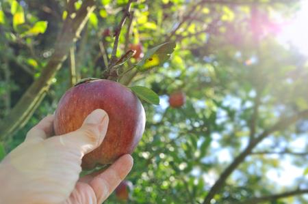 rode appel plukken in de boom met zonlicht Stockfoto