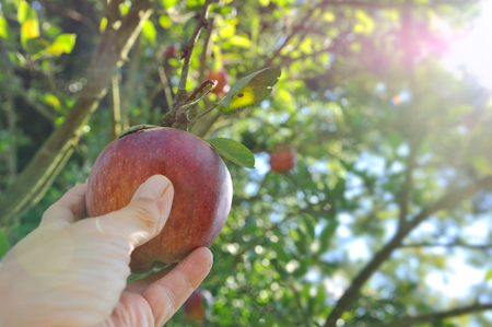 red apple picking in the tree with sunlight