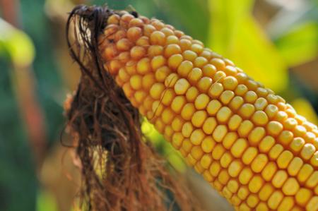 maize: closeup on crop ear of maize in a field