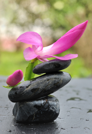black pebbles: pink flower on black pebbles covered with water drops Stock Photo