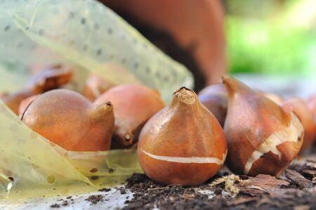 closeup on flower bulbs on garden table Standard-Bild