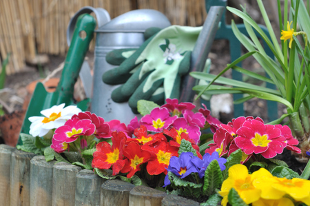 dibble: flowerbed with colorful primroses and gardening tools background Stock Photo