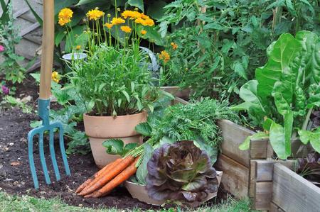 lechuga: herramientas de jardinería en un jardín vegetal con las zanahorias y la ensalada en el suelo