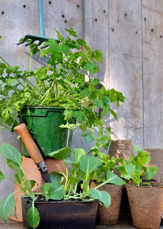 Bacground: seedlings in bucket on wooden bacground
