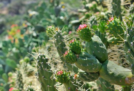 prickly pear: close on prickly pear being bloom Stock Photo