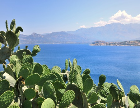 prickly pear: prickly pear on a background of blue sea - Corsica