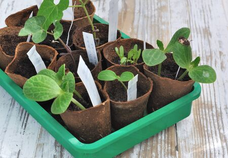 biodegradable: vegetable seedling in biodegradable pots