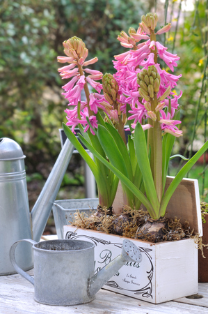 hyacinths: hyacinths flowering in garden on garden table with watering cans