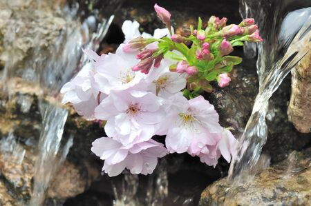 twig: twig of cherry tree between water flowing Stock Photo
