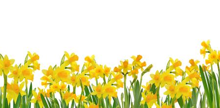 fioritura narcisi isolato su sfondo bianco