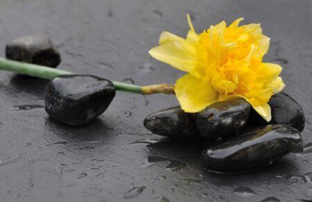 black pebbles: Double Daffodil flower on wet black pebbles