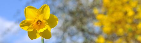 yellow blossom: close on daffodils on yellow  blossom garden background