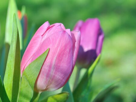 jardines con flores: close on pink tulip on green background